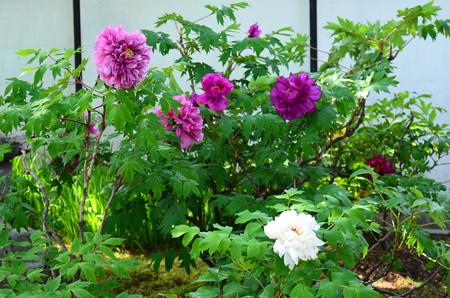 白と紫の牡丹