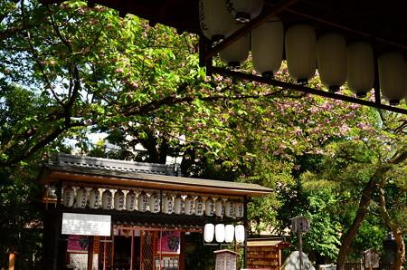普賢象咲く白峯神宮