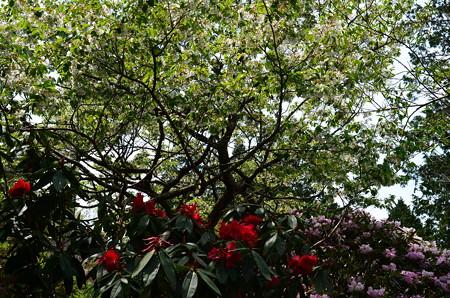 石楠花と大島桜(オオシマザクラ)