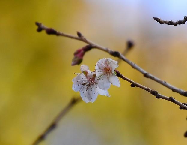 冬桜(フユザクラ)?