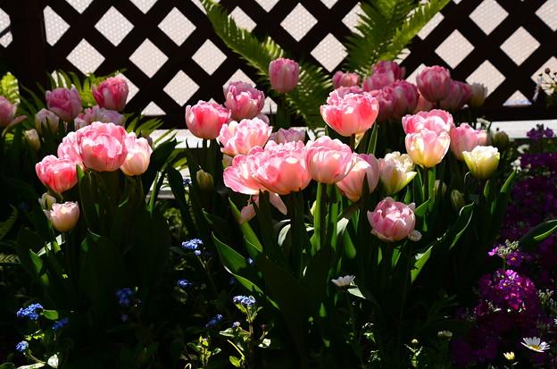 早春の草花展のチューリップ