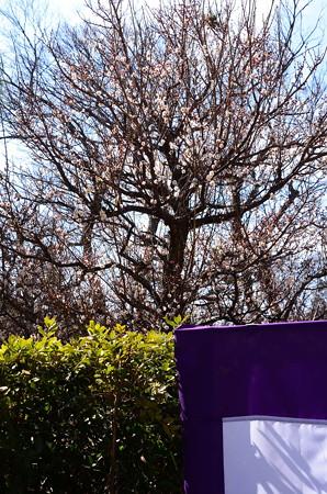 梅苑の白梅