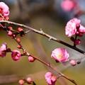 写真: 咲き始めた紅梅