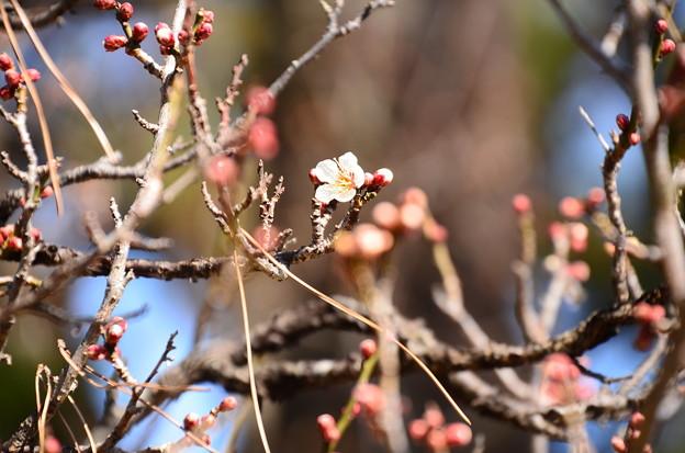 咲き始めた白梅