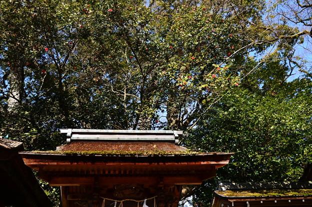 宗像神社の椿