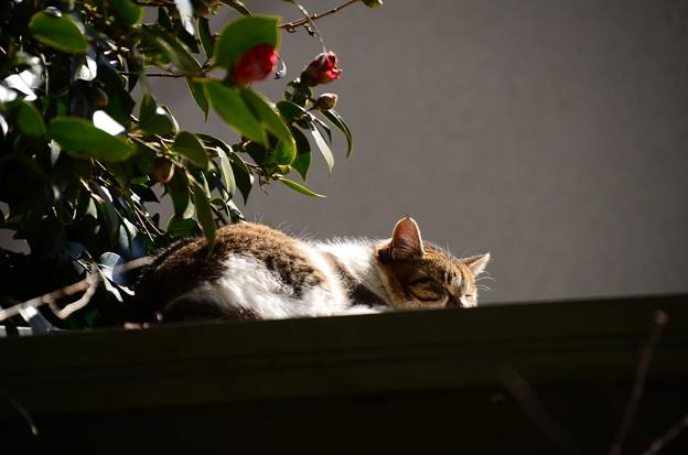 椿の下で眠るのは