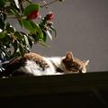 写真: 椿の下で眠るのは