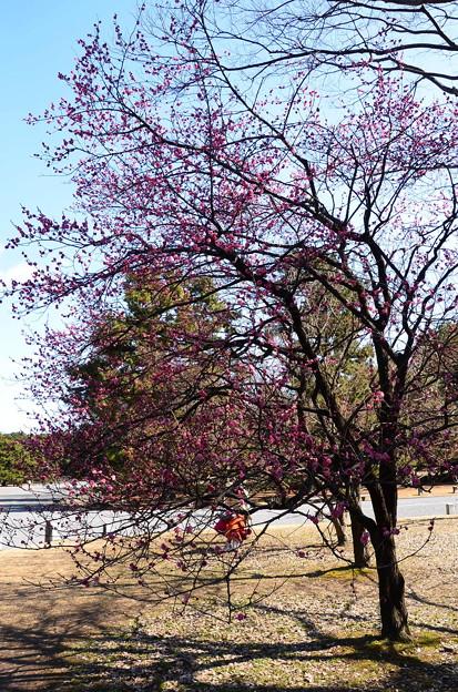 出水広場北側の梅