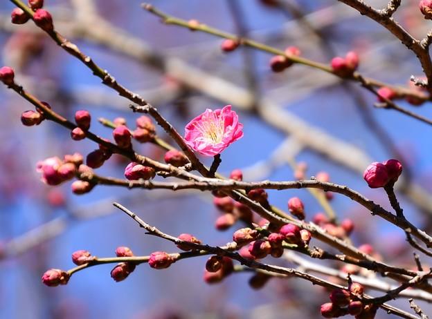 桜鏡(サクラカガミ)