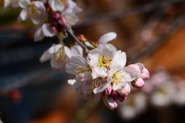 早春の草花展の桜