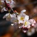 写真: 早春の草花展の桜