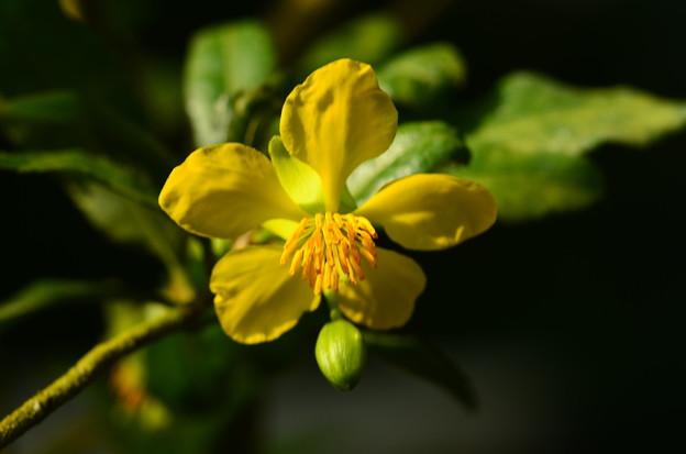 ミッキーマウスのお花