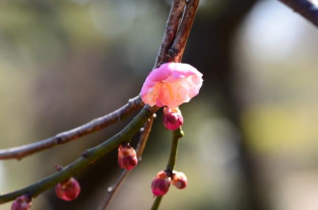咲き始めた楊貴妃(ヨウキヒ)