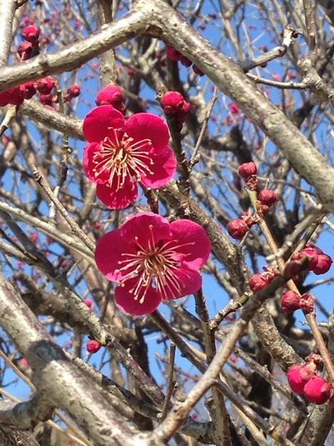 咲き始めた光琳の梅