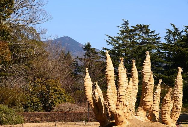 菰を巻いた蘇鉄と比叡山
