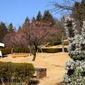 写真: 梅の季節の宇治市植物公園