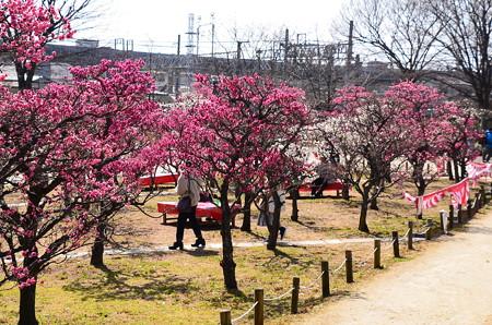 梅満開の梅小路公園