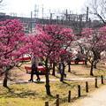 写真: 梅満開の梅小路公園