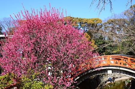 曲橋と光琳の梅