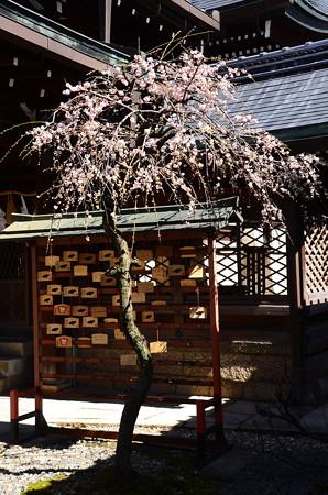 桃山天満宮の枝垂れ梅