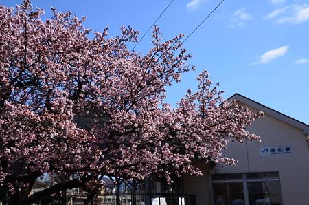 駅舎と寒桜