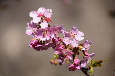まだ咲き始めの河津桜