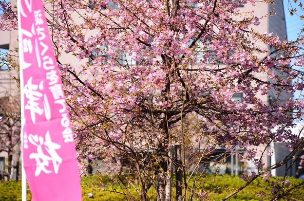 京阪淀駅北口の河津桜