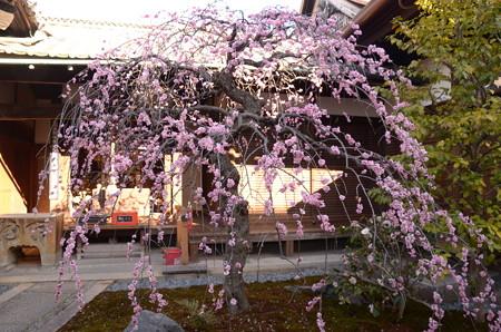 観智院の枝垂れ梅