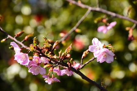 淀城跡公園の河津桜