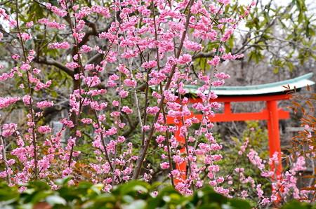 上品蓮台寺の紅梅