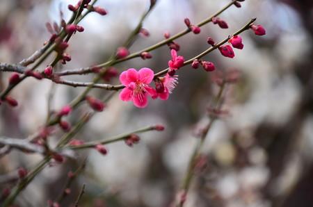 まだ咲き始めの梅も~