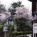 観音寺の梅
