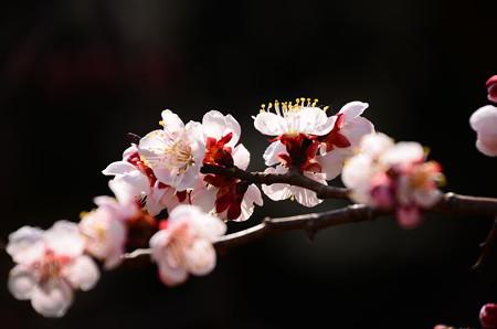 杏っぽい梅