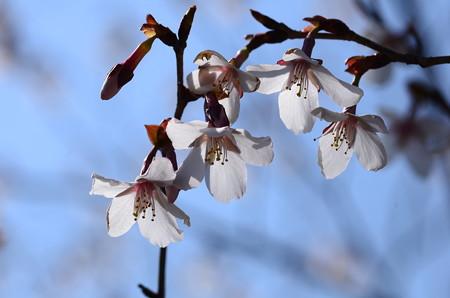 近畿豆桜(キンキマメザクラ)