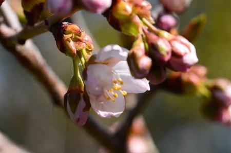 十六夜(イザヨイ)も咲き始め