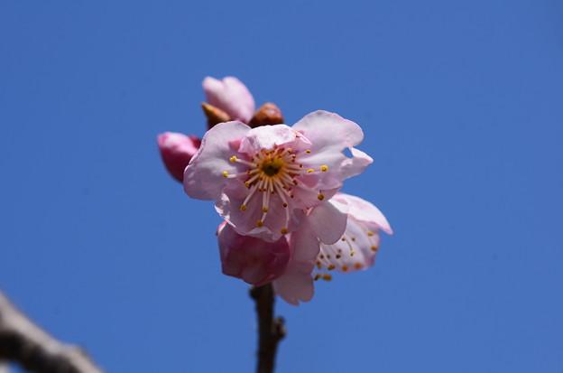 唐実桜となってますが、、、