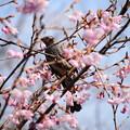 初御代桜の中のヒヨちゃん
