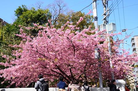 一条戻橋の河津桜(カワヅザクラ)