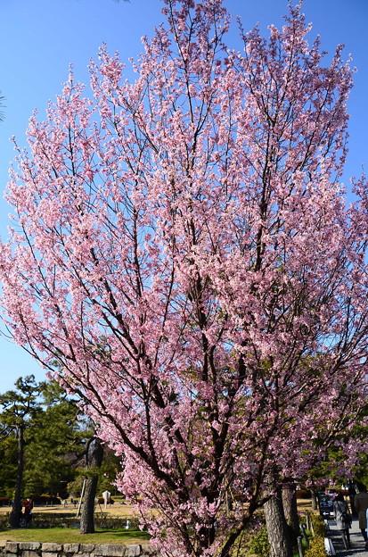 満開の啓翁桜(ケイオウザクラ)