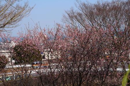 初御代桜の向こうの琵琶湖