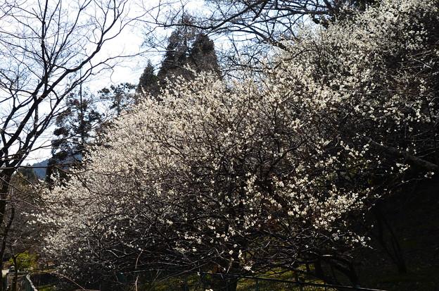 皇子が丘公園の梅