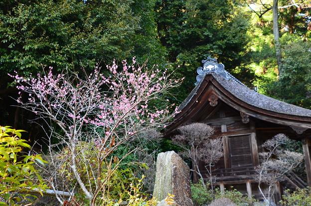 紅梅咲く三井寺