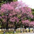 写真: 黒木の梅