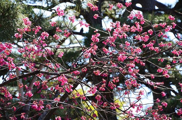 もう見頃の寒緋桜(カンヒザクラ)