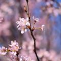 啓翁桜(ケイオウザクラ)