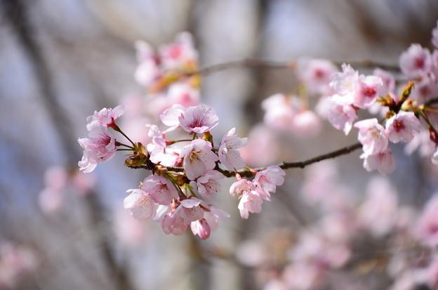 大寒桜(オオカンザウラ)