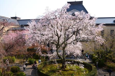 府庁旧館の枝垂れ桜と紅枝垂れ