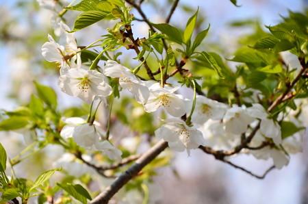 大島桜かな~?