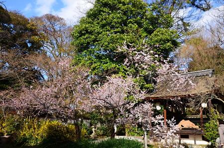 小彼岸咲く宗像神社