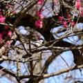 写真: 紅梅の中の四十雀(シジュウカラ)